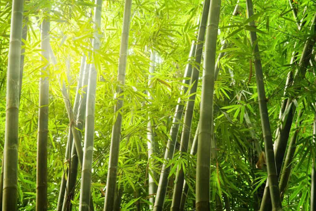 El Bambú Tabashir, ¿que beneficios aporta a nuestra salud? Indigo hierbas